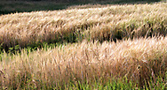 """Wheat and wind...<br /> <br /> For IMAGE LICENSING information, click on """"PURCHASE"""" button above, then click """"DOWNLOADS INFO"""", or contact the artist.<br /> <br /> Fine Art archival paper prints for this image as well as canvas, metal and acrylic prints available here: https://2-julie-weber.pixels.com/featured/amber-waves-julie-weber.html<br /> <br /> GET BACK TO FULL SCREEN VIEWS<br /> https://julieweberphoto.photoshelter.com/index/G0000SXv8Ur32O9s/I0000IamGX6VC3IQ<br /> Then click on expand view icon.<br /> OR...click your browser back arrow"""