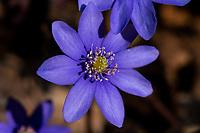 Podlasie. N/z pierwsze wiosenne kwiaty - zawilce fot Michal Kosc / AGENCJA WSCHOD
