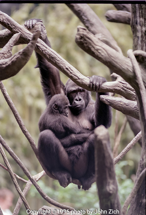 Binti Jua, a western lowland gorilla, and her daughter Koola swing from a tree branch in the gorilla enclosure at the Brookfield Zoo. (photo by John Zich)