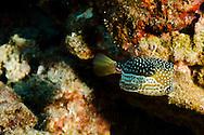 Whitley's Boxfish, Ostracion whitleyi, Fowler, 1931, Lanai, Hawaii