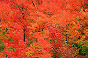 A blaze of autumn color in the hardwood forest of the Green Muntains of Vermont.