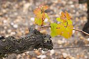 old vine young leaves chateau haut brion pessac leognan graves bordeaux france