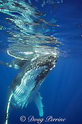 humpback whale, Megaptera novaeangliae, and calf, Vava'u, Kingdom of Tonga, South Pacific; both mother and baby have remoras, or shark suckers attached to underside