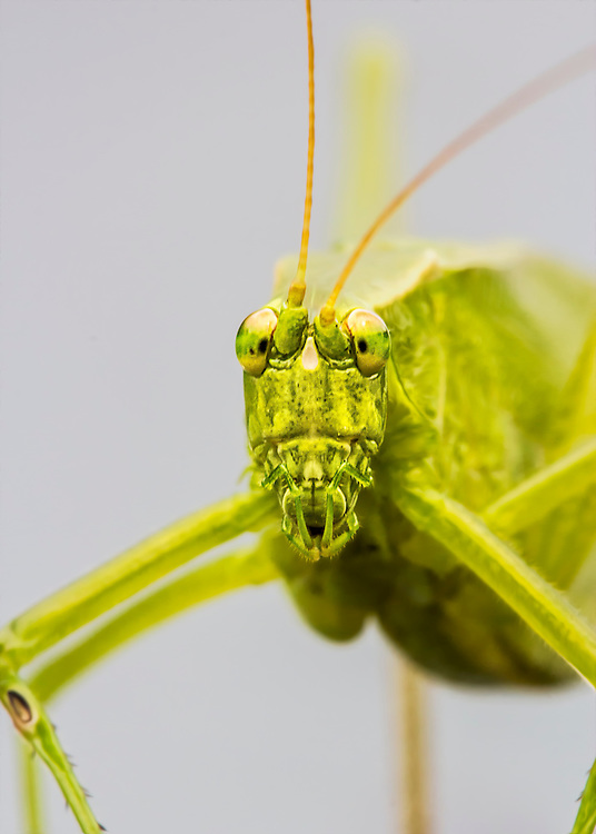 This little grasshopper looks rather evil from behind a macro lens!