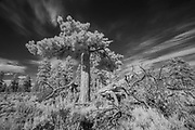 Lightning damaged ponderosa pine (Pinus ponderosa) in Central Oregon. © Michael Durham.