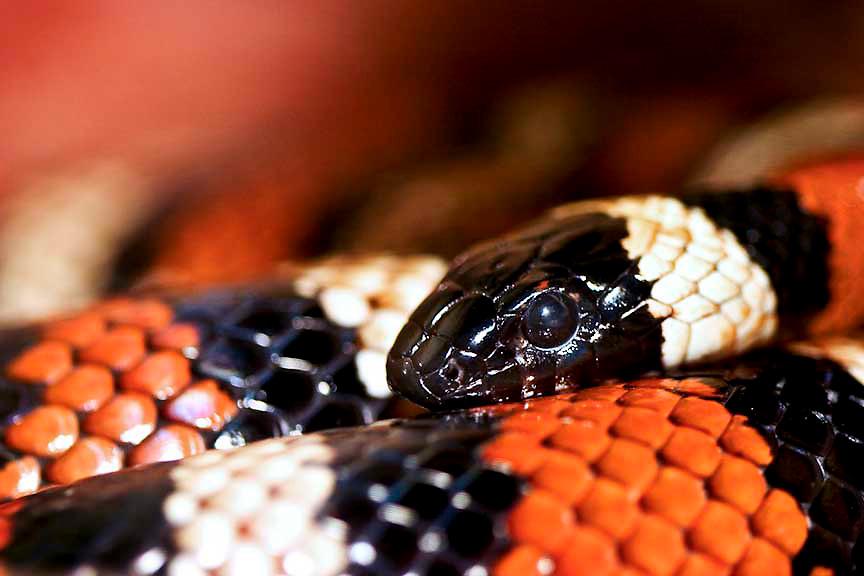Captive Sierra Mountain King Snake. Range: Southwest United States. Job description: preditor. Shot handheld at Santa Barbara Zoo, California