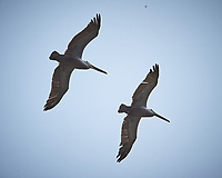 Brown Pelicans in flight. Carmel Beach, Pacific Coast Highway. Image taken with a Nikon D3 camera and 80-400 mm VR lens.