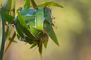 Green Weaver Ants in a nest. The nests are in trees and are made of leaves which have been stitched together using the silk produced by their larvae. Vansittart Bay, Kimberley, Australia