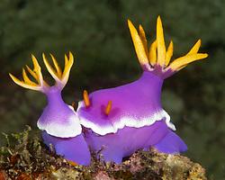 These colorful nudibranchs, Hypselodoris apolegma, are mating. Raja Ampat, West Papua, Indonesia