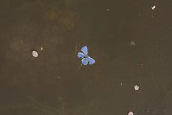 Verdronken boomblauwtje in vijver met kikkerdril