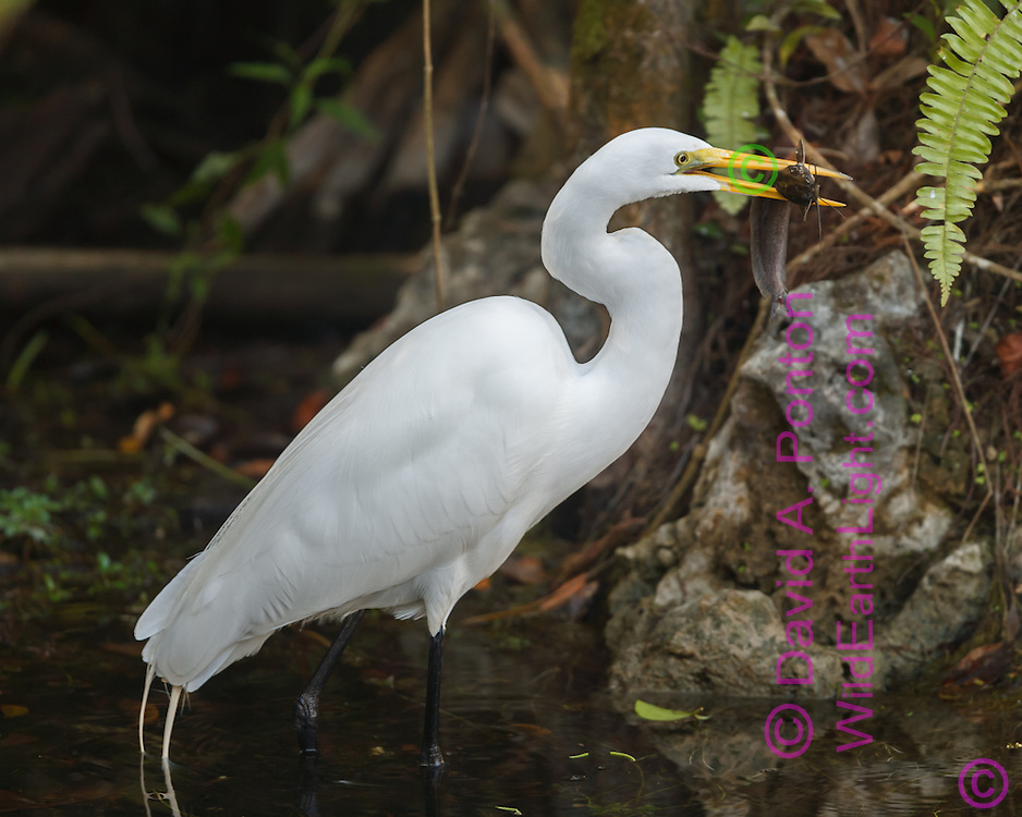 Great egret with fish, Big Cypress National Preserve, © 2007 David A. Ponton
