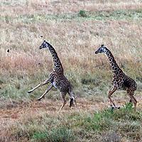 Africa, Kenya, Masai Mara. A pair of Maasai Giraffe running.