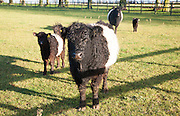 Rare breed Belted Galloway beef cattle herd at Lux farm, Kesgrave, Suffolk, England