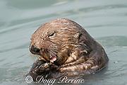 sea otter, Enhydra lutris ( Endangered Species ), eating mussels, Valdez, Alaska ( Prince William Sound ), USA