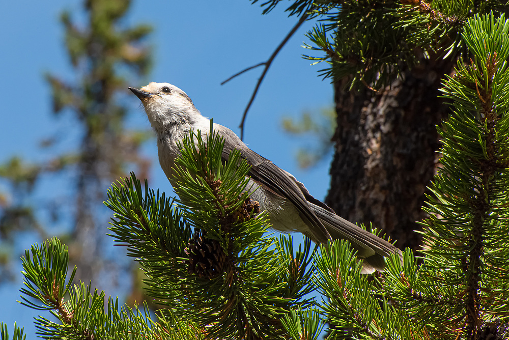 The notorious mountain camp thief, the gray jay is a very clever and charismatic member of the corvid family that includes blue jays, crows, ravens, and magpies. This one seen in Yellowstone National Park in Wyoming shows the distinctive regional Rocky Mountain color variation with a nearly white head.