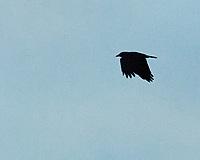 American Crow (Corvus brachyrhynchos). Image taken with a Nikon D200 camera and 80-400 mm VR lens.