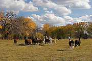 Llamas and cattle with fall cottonwoods near Abiquiu, New Mexico<br />