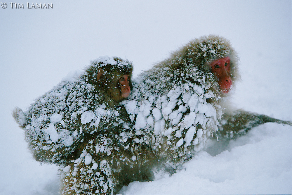 Snow Monkey or Japanese Macaque (Macaca fuscata) adult with young on its back.