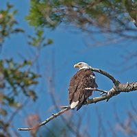 A Bald Eagle (Haliaeetus leucocephalus) perches in a white pine by Lake of the Woods, Ontario, Canada.