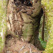 Oak trees (Quercus) L'allée des Géants, Ces arbres de 400ans,  Bois Noirs, Saint Nicolas de Biefs, Montagne Bourbonnaise, Auvergne, France, common beech