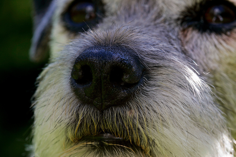 Border Terrier dog close-up, England
