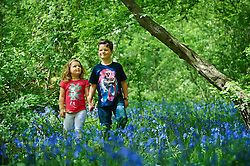 © Licensed to London News Pictures. 04/05/2015 London, UK. Tom Stamp, 7 and sister Elsa Stamp, 5 walk amongst the bluebells at Bentley Priory Nature Reserve, Stanmore, north west London in the May Day Spring Bank Holiday sunshine. Photo credit : Simon Jacobs/LNP