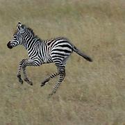 Burchells Zebra (Equus burchelli) Young zebra running. Serengeti National Park. Tanzania. Africa. February.