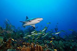 Caribbean reef shark, Carcharhinus perezi, and yellowtail snappers, Ocyurus chrysurus, West End, Bahamas, Atlantic Ocean