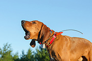 Mike Martinson's hound Clyde, howls while searching for black bears in Wisconsin.