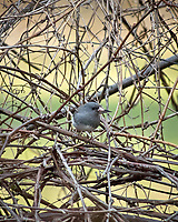 Dark-eyed Junco. Image taken with a Nikon D2xs camera and 80-400 mm VR telephoto zoom lens.