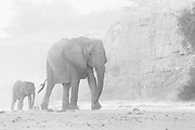 A desert elephant (Loxodonta africana cyclotis) and her calf walking through the Hoanib river bed on a windy day, black and white, Skeleton Coast, Namibia