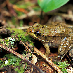 Randolph, NH. A young green frog, Rana clamitans. Amphibians.  In the undergrowth of a lowland spruce-fir forest in New Hampshire's White Mountains.