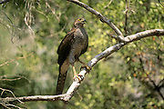Henst's goshawk (Accipiter henstii) perching on branch, Western Dry Forest, Madagascar