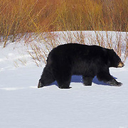 Black Bear, (Ursus americanus) Sow with spring cubs in spring snow Montana. Captive Animal.