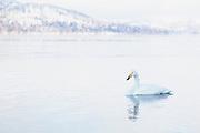 Japanese Whooper swan (Cygnus cygnus) in a frozen lake, Lake Kussharo, Hokkaido, Japan