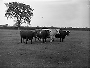 """11/08/1959<br /> 08/11/1959<br /> 11 August 1959<br /> Pedigree Bulls and Heifers for Coras Trachtala. Shorthorn group owned by J.F. Wright, Prumplestown, Castledermot, Co. Kildare.  """"Prumplestown Queen Rathes 52nd""""; """"Butterfly Biddy""""; Mysie 8th"""" and """"Prumplestown Cora 60th""""."""