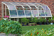 Greenhouse with tomatoes and Dahlias in pots along the outside. September