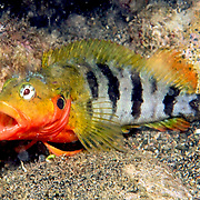 Hairy Blenny Complex inhabit shallow inshore habitats from rocky shore lines to patch reefs in Tropical West Atlantic; picture taken Dominica.