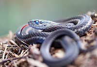 Garter Snake (Thamnophis sirtalis) - blue eyes are due to preparation to shed old skin, Gabriola Island , British Columbia, Canada