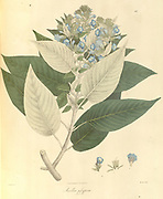 Ruellia gossypina From Plantae Asiaticae rariores, or, Descriptions and figures of a select number of unpublished East Indian plants Volume 1 by N. Wallich. Nathaniel Wolff Wallich FRS FRSE (28 January 1786 – 28 April 1854) was a surgeon and botanist of Danish origin who worked in India, initially in the Danish settlement near Calcutta and later for the Danish East India Company and the British East India Company. He was involved in the early development of the Calcutta Botanical Garden, describing many new plant species and developing a large herbarium collection which was distributed to collections in Europe. Several of the plants that he collected were named after him. Published in London in 1830