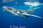 humpback whale calf, Megaptera novaeangliae, with remoras attached to underside, Vava'u, Kingdom of Tonga, South Pacific