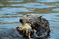 Sea otter at the Oregon Aquarium. Newport, OR.