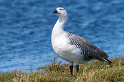 Male upland goose (Chloephaga picta) from Sea Lion Island, the Falklands.