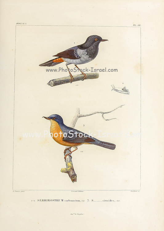 hand coloured sketch Top: grey-bellied flowerpiercer (Diglossa carbonaria [Here as Serrirostrum carbonarium]) Bottom: rusty flowerpiercer (Diglossa sittoides [Here as Serrirostrum sittoides]) From the book 'Voyage dans l'Amérique Méridionale' [Journey to South America: (Brazil, the eastern republic of Uruguay, the Argentine Republic, Patagonia, the republic of Chile, the republic of Bolivia, the republic of Peru), executed during the years 1826 - 1833] 4th volume Part 3 By: Orbigny, Alcide Dessalines d', d'Orbigny, 1802-1857; Montagne, Jean François Camille, 1784-1866; Martius, Karl Friedrich Philipp von, 1794-1868 Published Paris :Chez Pitois-Levrault et c.e ... ;1835-1847