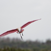 A Roseate Spoonbill (Platalea ajaja) in Merritt Island National Wildlife Refuge, Florida. This was one of hundreds of wading birds gathered together at a pond on Merritt Island. Merritt Island National Wildlife Refuge, Florida. Photo by William Drumm, 2013.