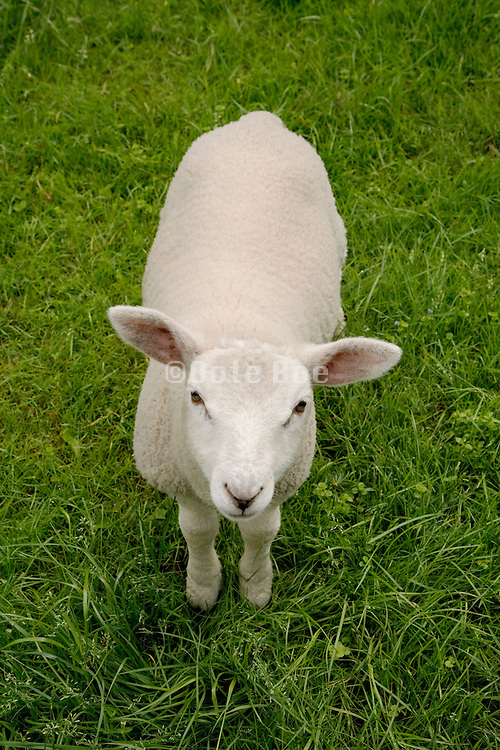 lamb standing in grass field looking up making eye contact