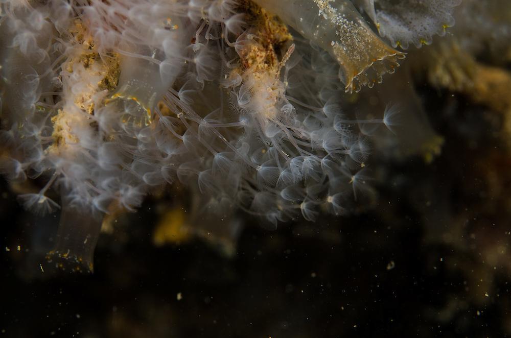 Phoronid worm, Phoronis ijimai
