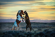Two Wild Stallion Horses fighting at sunset in North Central Wyoming. Purple mountains and golden clouds accent the fierce action. Cowboys & Indians Magazine