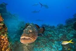 Black Grouper, Mycteroperca bonaci, and Caribbean Reef Sharks, Carcharhinus perezii, West End, Grand Bahama, Bahamas, Caribbean, Atlantic Ocean