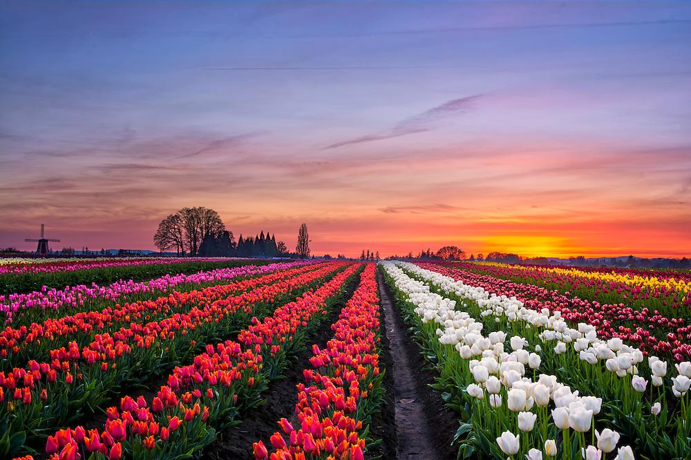 Tulip Farm, OR